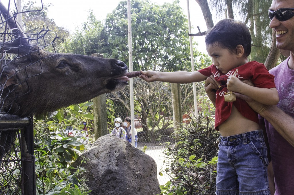 Feeding a Sambar Deer