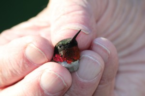 a story from hummingbird banding in Louisiana